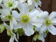 Clematis potaninii 15 seeds-Vanilla scented,blooms all summer&autumn/easy/tolera